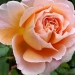 "rose "" Abraham Darby """